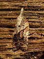 Tufted Apple Bud Moth - Flickr - treegrow (1).jpg