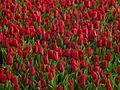 Tulip 1290151a.jpg