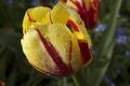TulipacultMonsella-20120506i.png
