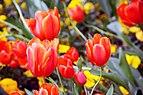 Tulips in Desenzano del Garda.jpg