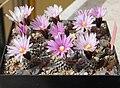 Turbinicarpus valdezianus group - Flickr - Resenter89.jpg