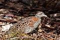 Turnix varius -Victoria, Australia-8.jpg
