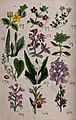 Twelve British wild flowers with their common names. Coloure Wellcome V0044085.jpg