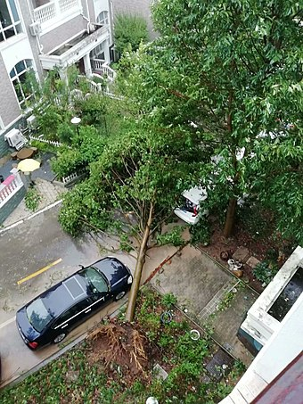 Typhoon Lekima uprooted a tree in Xianju County, Zhejiang. Typhoon Lekima uprooted the tree in Xianju County.jpg