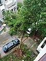 Typhoon Lekima uprooted the tree in Xianju County.jpg