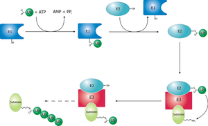 Ubiquitin ligase - Schematic diagram of the ubiquitylation system.