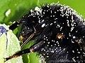 Un bourdon infecté par Acarien ectoparasite.jpg