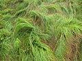 Unfrisiertes Gras.jpg