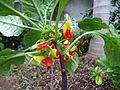 Unknown plant - Madeira - DSC07992.JPG