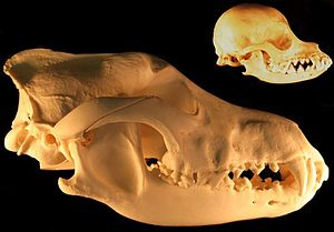 Domestication of animals - Reduction in skull size with neoteny - grey wolf and chihuahua skulls