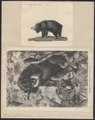 Ursus labiatus - 1700-1880 - Print - Iconographia Zoologica - Special Collections University of Amsterdam - UBA01 IZ22600087.tif