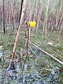 Utricularia vulgaris inflorescens (05).jpg