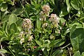 Valeriana celtica (Echt-Speik) IMG 2618.jpg