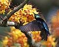 Van Hasselt's sunbird - Flickr - Lip Kee(1).jpg