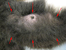 Close-up photo of the underside of a female black-and-white ruffed lemur, with six red arrows pointing to each of the mammary glands, some obscured by dense fur