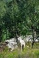 Varg fotograferad pa Polar Zoo Norge (21).jpg