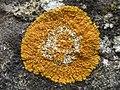 Variospora flavescens 232784.jpg