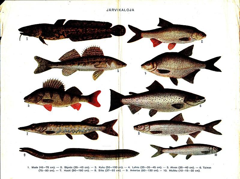 ملف:Various sweetwater fish with Finnish text.jpg