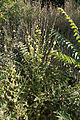 Verbascum nigrum-Molène noire-20150609.jpg