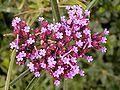 Verbena bonariensis 03 ies.jpg