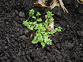 Veronica arvensis plant 001.JPG