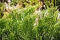 Veronica salicornloides in Christchurch Botanic Gardens 03.jpg