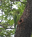 Very poor Green Parrot (30522262412).jpg