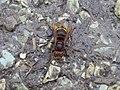 Vespa crabro Lucca 01.jpg