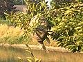 Vespiary in the tree, img01.jpg