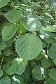 Viburnum dentatum kz01.jpg
