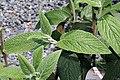 Viburnum rhytidophyllum 0zz.jpg