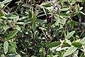 Viburnum x pragense 3zz.jpg