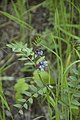 Vicia sepium (Vesce des haies).jpg