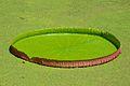 Victoria amazonica Leaf - Janardan Lake - Indian Botanic Garden - Howrah 2012-09-20 0102.JPG