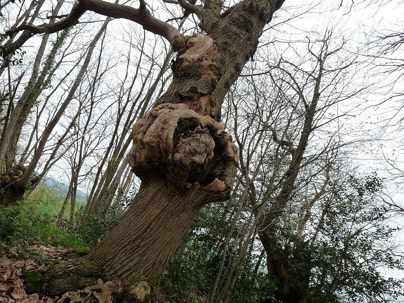 Vieille arbre
