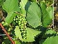 Vigne sauvage dans les dunes de Capbreton (fruit).jpg