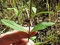 Viguiera multiflora (7990104814).jpg