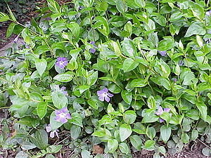 Species: Vinca major Family: ' Image No. 2