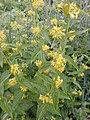 Vincetoxicum sp. Yunnan Xianggelila, Napahai - Flickr - peganum (1).jpg