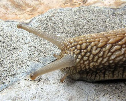The Importance Of Identified Neurons In Gastropod Molluscs To >> Sensory Organs Of Gastropods Wikiwand
