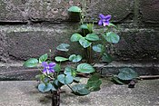 Viola riviniana, common dog-violet UK.JPG