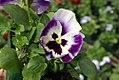Viola tricolor Delta Beaconsfield 2zz.jpg