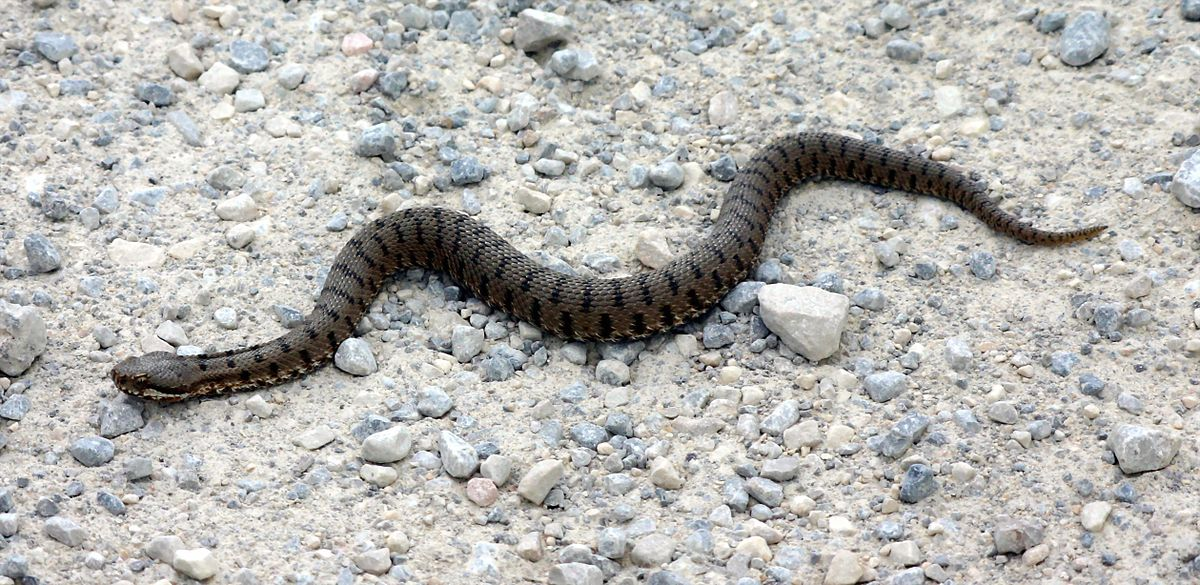 Hady wikip dia for Serpente cervone