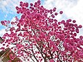 Vista parcial de flores de ipê-roxo em Coronel Fabriciano MG.JPG