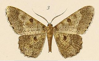 <i>Racotis squalida</i> species of insect