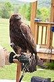 WR - Golden Eagle 12 (5761955442).jpg