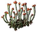 WWB-0262-126-Cladonia cornucopiodes-crop.png