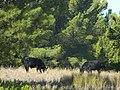 Wagyu Bulls in Alberto Forest.jpg