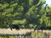Hindmarsh Island-Introduced species-Wagyu Bulls in Alberto Forest