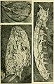 Walcott Cambrian Geology and Paleontology II plate 34.jpg